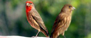 avespinzonemexicanos