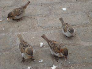 gorriones-con-migas